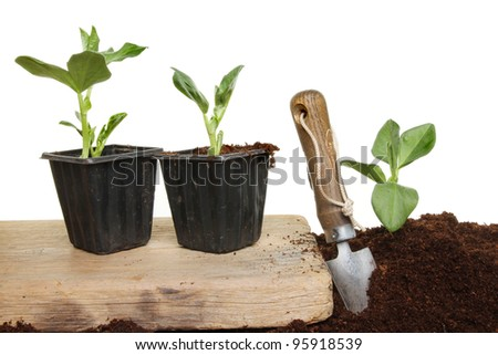 Planting out broad bean vegetable seedlings, plants on a wooden board and in the soil with a garden trowel