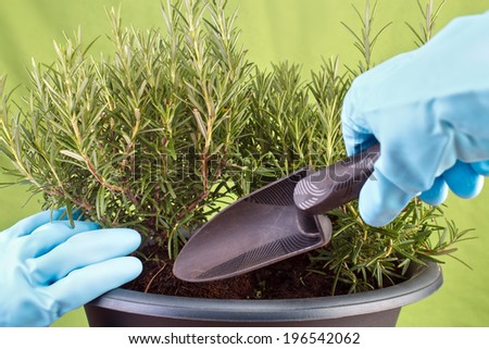 Planting rosemary herb into pot ( Rosmarinus officinalis ) - stock photo