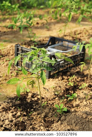 Planting seedlings in the greenhouse tomato - stock photo