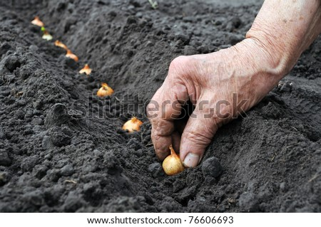 planting the onion - stock photo