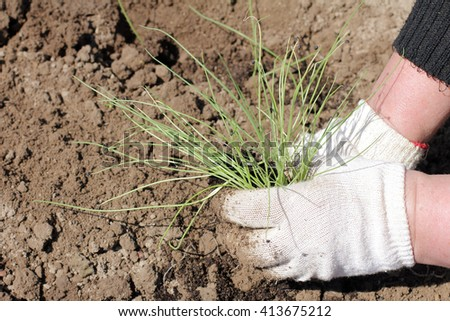planting young onion seedlings in the garden in the garden/planting seedlings in the garden - stock photo