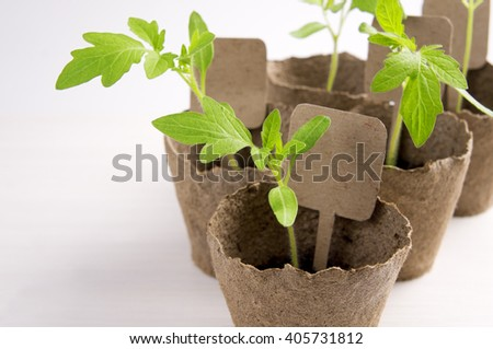 Planting young tomato seedlings in peat pots