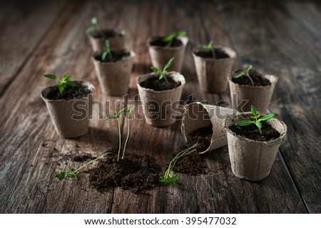 Planting young tomato seedlings in peat pots on wooden background. Agriculture, garden, homegrown food, vegetables, self-sufficient home, sustainable household concept.