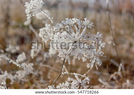 Plants covered in hoarfrost.