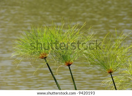 Plants of papyrus on the Nile river - stock photo