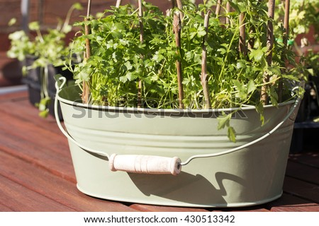 Plants of parsley. Young seedling growing in pot. Fresh and green parsley in the spring.Parsley with supporting sticks - stock photo