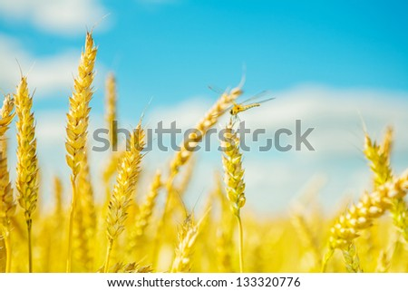 plants of wheat on a background of blue sky - stock photo