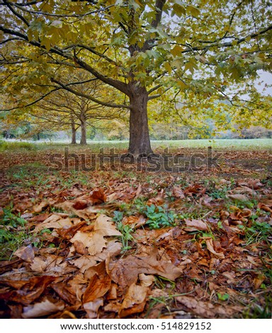 Platanus tree in an autumn park