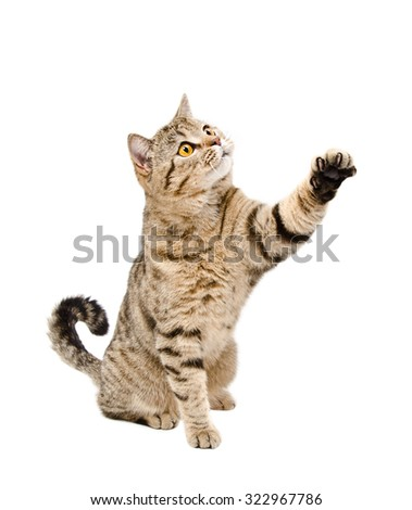 Playful a cat Scottish Straight sitting with a raised paw isolated on white background - stock photo