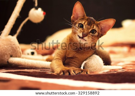 Playful abyssinian cat hunting toy mouse - stock photo