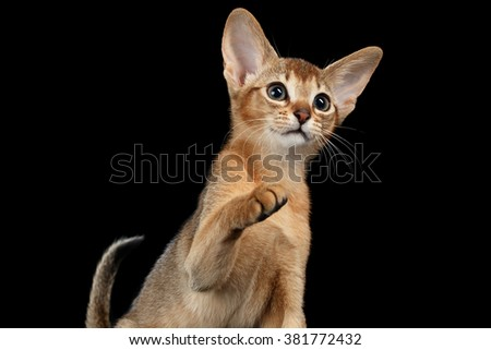 Playful Abyssinian Kitten Looking and Raising up Paw isolated on black background, Side view - stock photo
