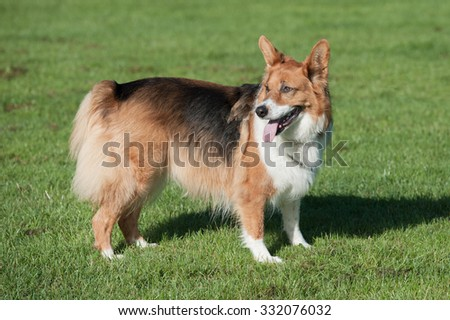 playful adult shepherd dog in a field - stock photo