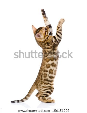 playful Bengal cat. isolated on white background - stock photo