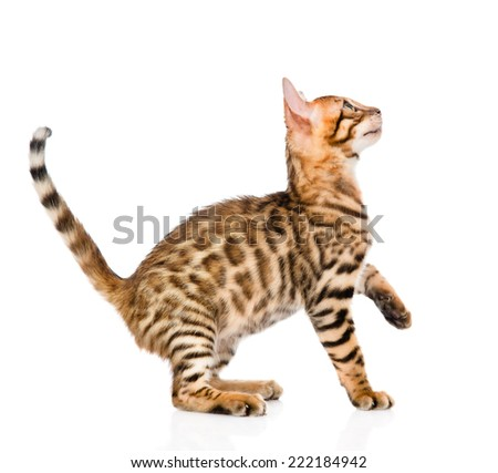 playful Bengal cat looking up. isolated on white background - stock photo