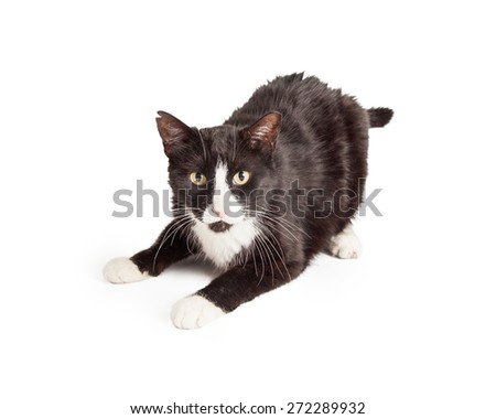 Playful black and white domestic Shorthair Mixed Breed Cat laying with outstretched paws.  - stock photo
