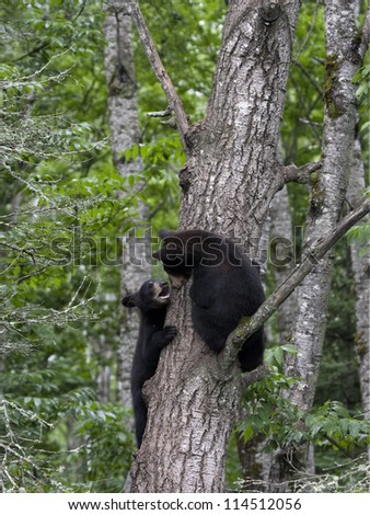 Playful Black Bear Cubs - stock photo