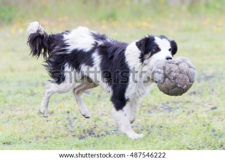 Playful Border collie with a ball in the rain