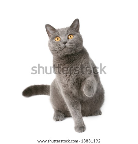 playful british cat - stock photo