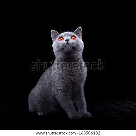 Playful Briton cat on a black background - stock photo