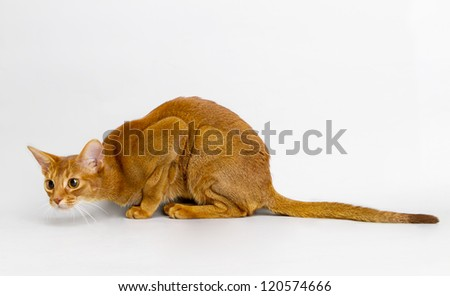 Playful cat Abyssinian.