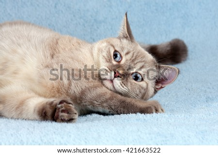 Playful cat lying on the blue blanket - stock photo