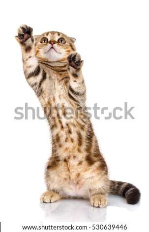 Playful cat Scottish fold standing on his hind legs isolated on white background