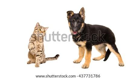 Playful cat Scottish Straight and German Shepherd puppy isolated on white background - stock photo
