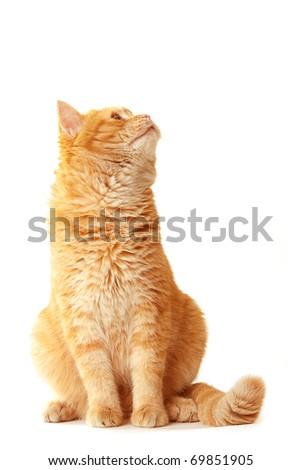 Playful cat waiting - isolated on white - stock photo