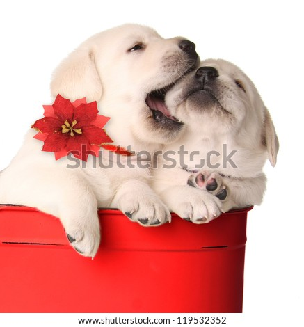 Playful Christmas puppies in a red container. - stock photo