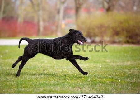 playful curly coated retriever dog - stock photo