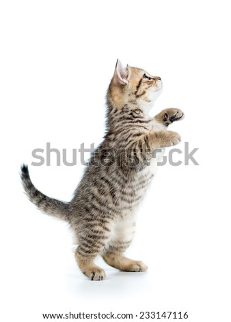 playful cute scottish cat looking up isolated - stock photo