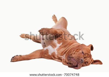 Playful dog of Dogue De Bordeaux Breed laying on the floor isolated on white background - stock photo