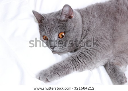 Playful fluffy charming short hair gray British cat - stock photo