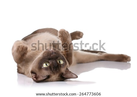 Playful funny cat lying on his back on a white background