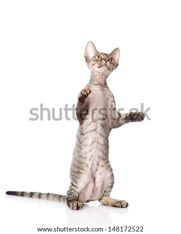 playful funny kitten. isolated on white background  - stock photo