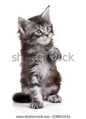 Playful gray kitten on a white background
