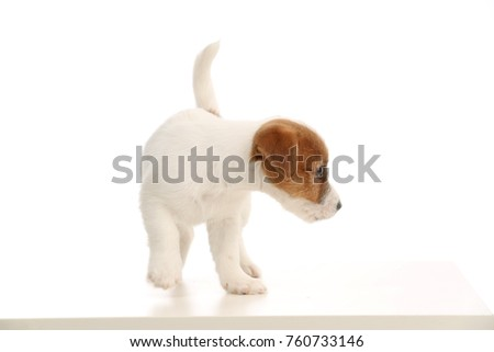 Playful jack russell baby. Close up. White background