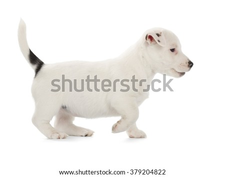 Playful Jack Russell Terrier puppy isolated on white background. Side view, standing. - stock photo