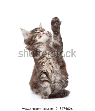 playful maine coon cat. isolated on white background - stock photo
