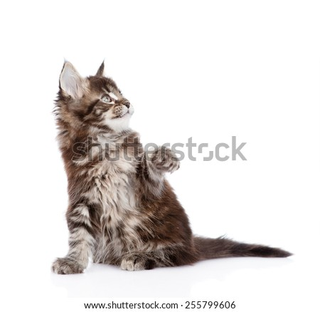 playful maine coon kitten. isolated on white background - stock photo