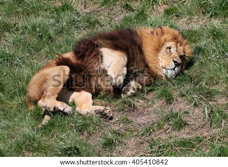 Playful male South African Lion (Panthera leo) rolling on his back in the grass - stock photo