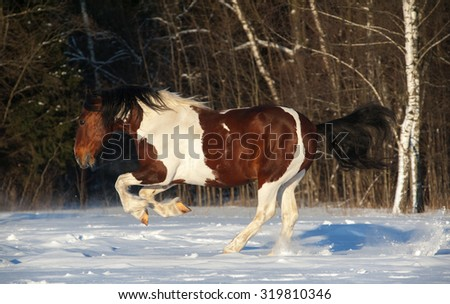 Playful pinto draft horse running in snowy field - stock photo