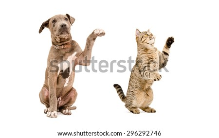 Playful puppy pit bull and a cat Scottish Straight isolated on white background - stock photo