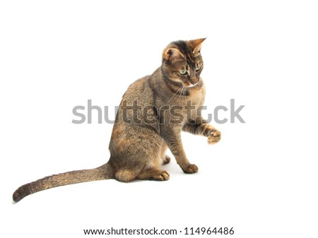 Playful Purebred Abyssinian cat on a white background