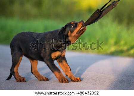 playful rottweiler puppy pulling on a leash