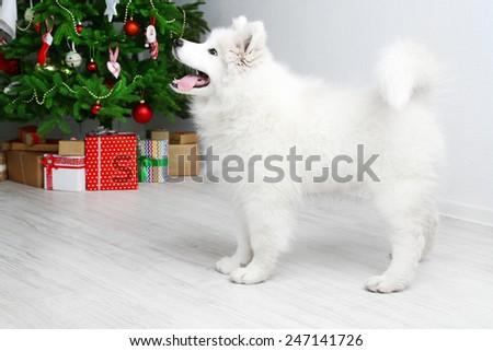 Playful Samoyed dog in room with Christmas tree on background - stock photo