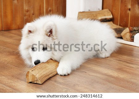 Playful Samoyed dog with firewood on wooden floor and fireplace on background - stock photo
