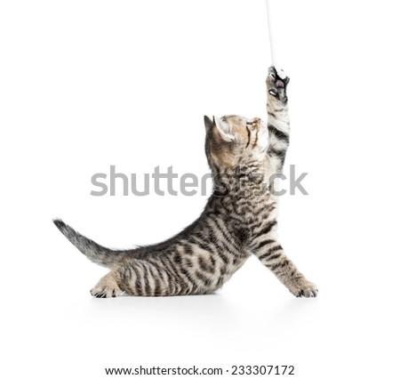 playful scottish cat kitten looking up isolated on white background - stock photo