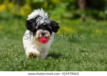 Playful spotted havanese puppy dog is running towards the camera with a pink ball in his mouth in a spring garden - stock photo