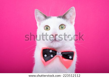 Playful stylish purebred cat. Animal portrait. Purebred cat with bow-tie. Pink background. Colorful decorations. Collection of funny animals - stock photo